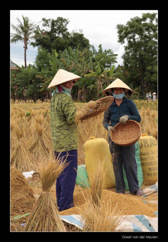 9311 Vietnam, ladies harvesting rice