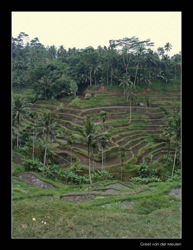 4734 Indonesia, rice terrasses at Ubud