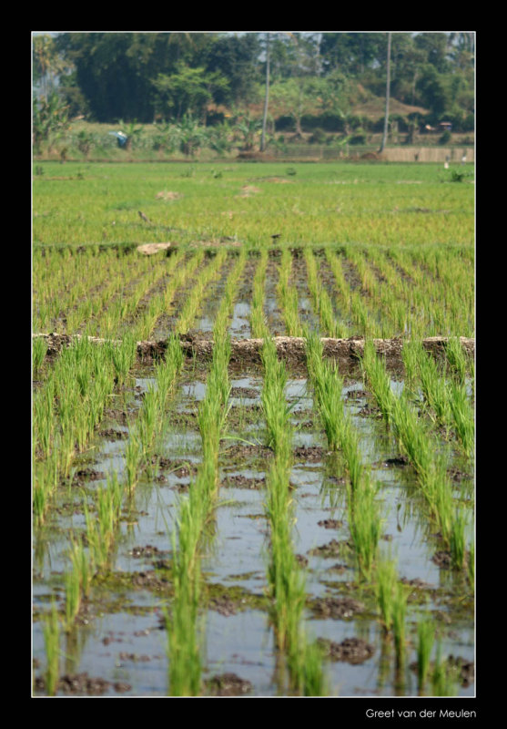 3170 Indonesia, ricefields