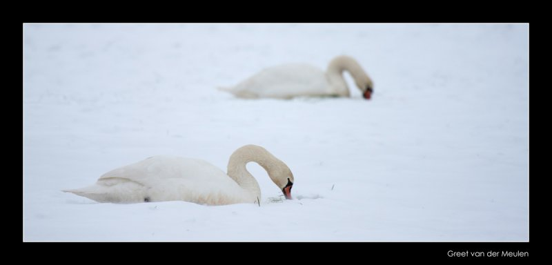 4913 mute swan in windy snow