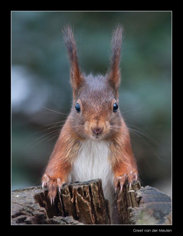 7116 red squirrel