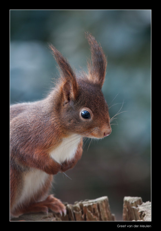 7343 red squirrel