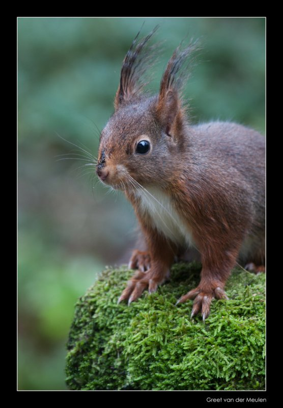1645 red squirrel
