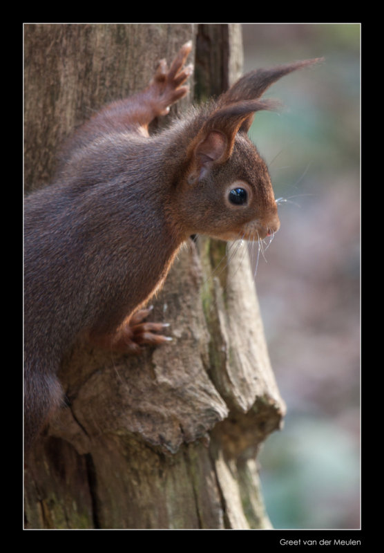 3294 red squirrel