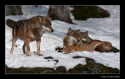 0619 wolves in a row (c)