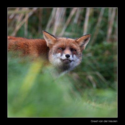 2901 fox showing teeth