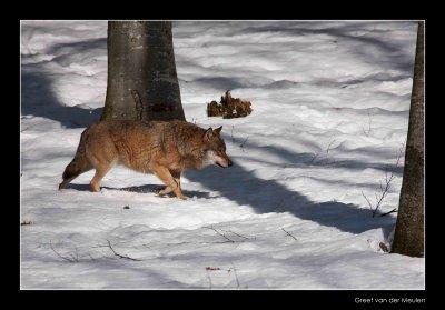 0191 wolf walking along trees