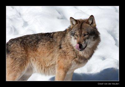 0290 wolf