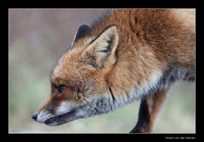 0426 fox in rain