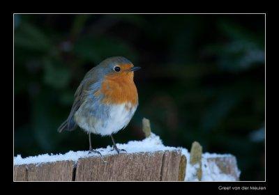 0668 robin in snow
