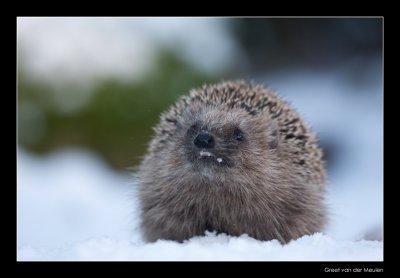 0637 hedgehog showing teeth