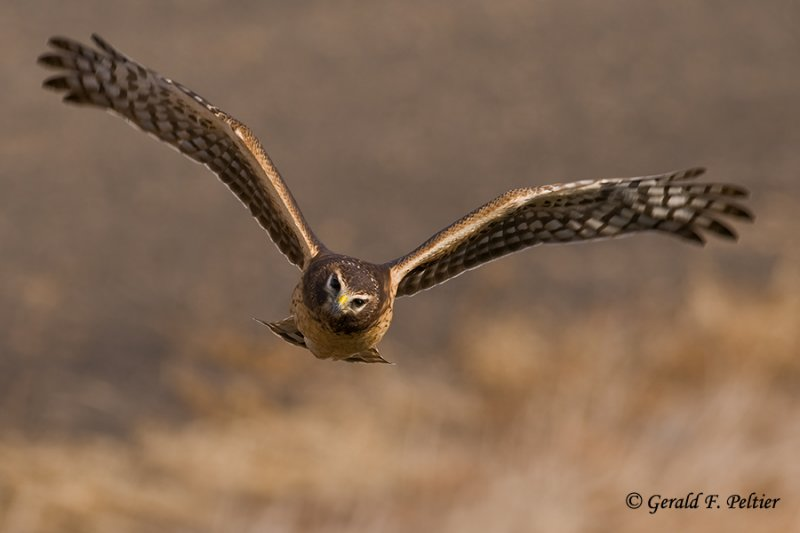 Northern Harrier   32