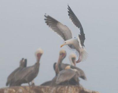 Gulls From La Jolla Cove