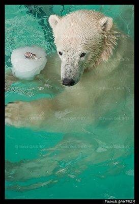 Flocke Polar bear 6440.jpg