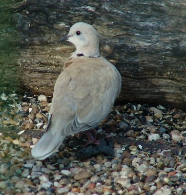 ringed turtle dove
