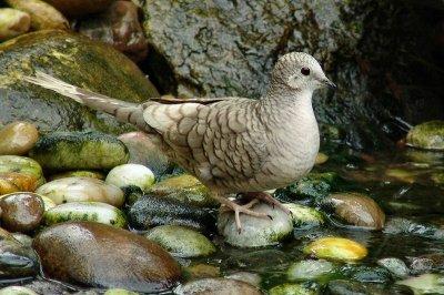inca dove white feathers