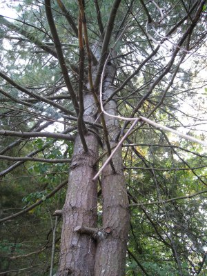Walden Pond - Concord, Mass. (Hugging Trees)