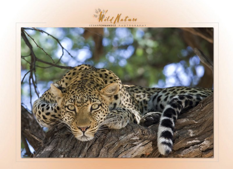 The hypnotic look of the leopard