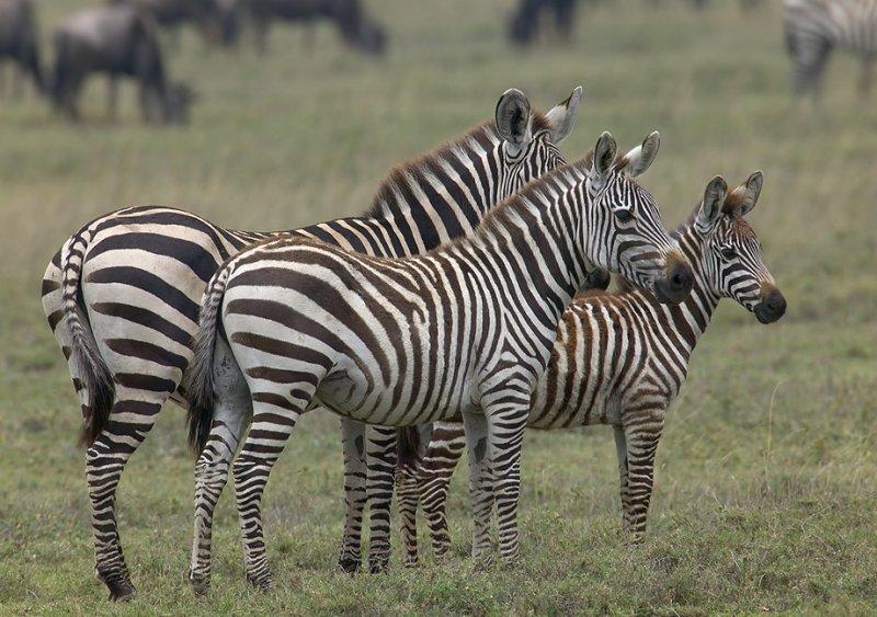 Zebra Family MF.jpg