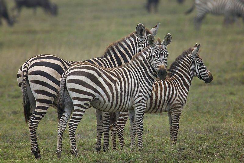 Zebra Family2-MF.jpg