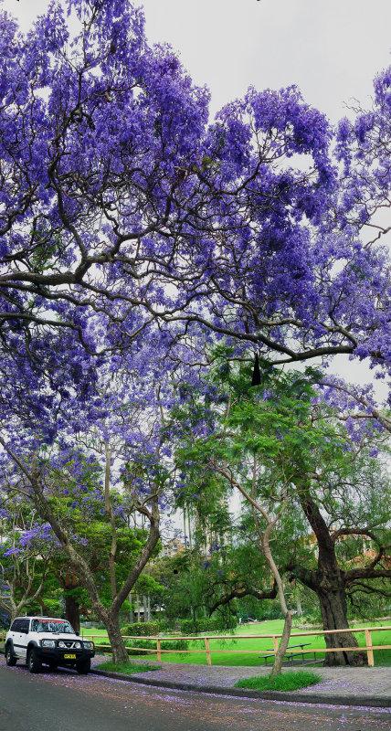 VBLV Jacaranda at North Sydney.jpg