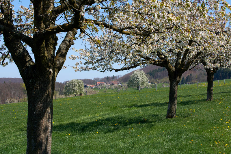 Kirschblüten Ränggersmatt