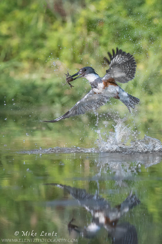 Belted Kingfisher erupts from stream with crayfish