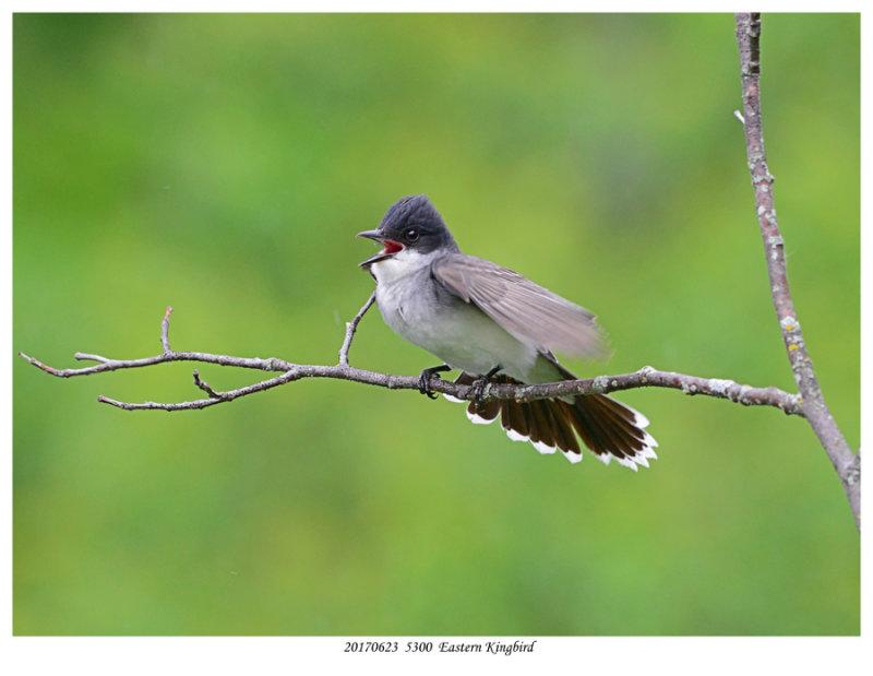 20170623  5300  Eastern Kingbird.jpg