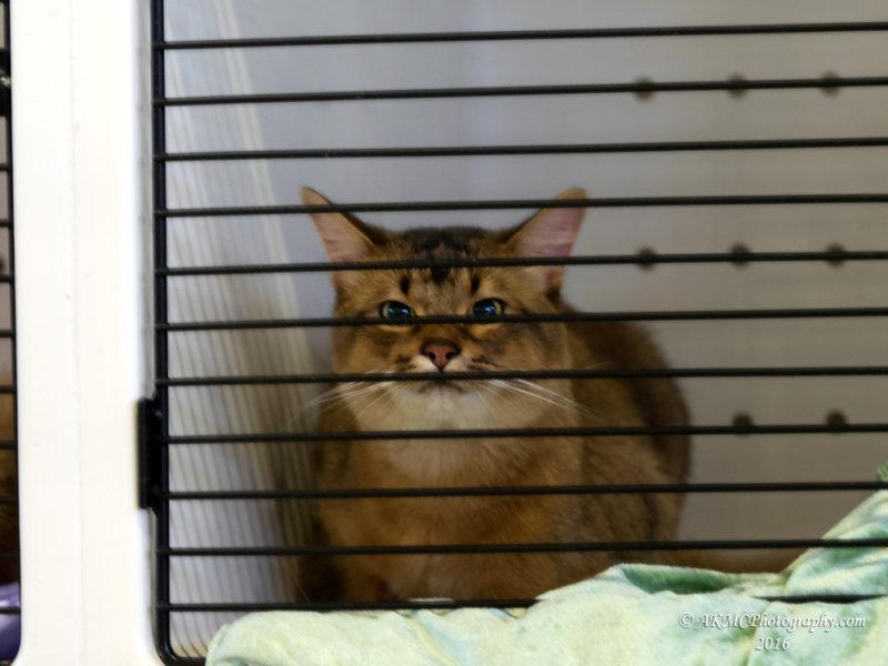 20170415_024903 Felis Catus (Domesticus, Tabby)