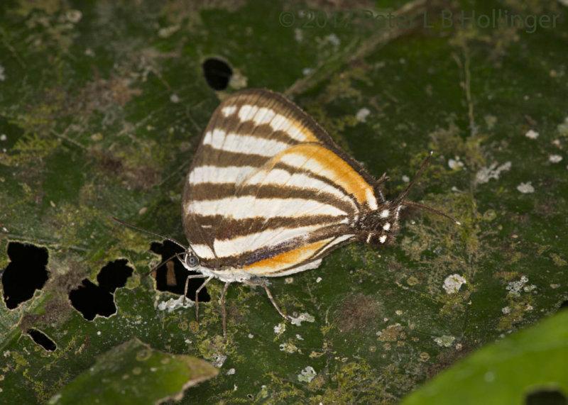 <i>Arawacus aetolus</i> stripestreak