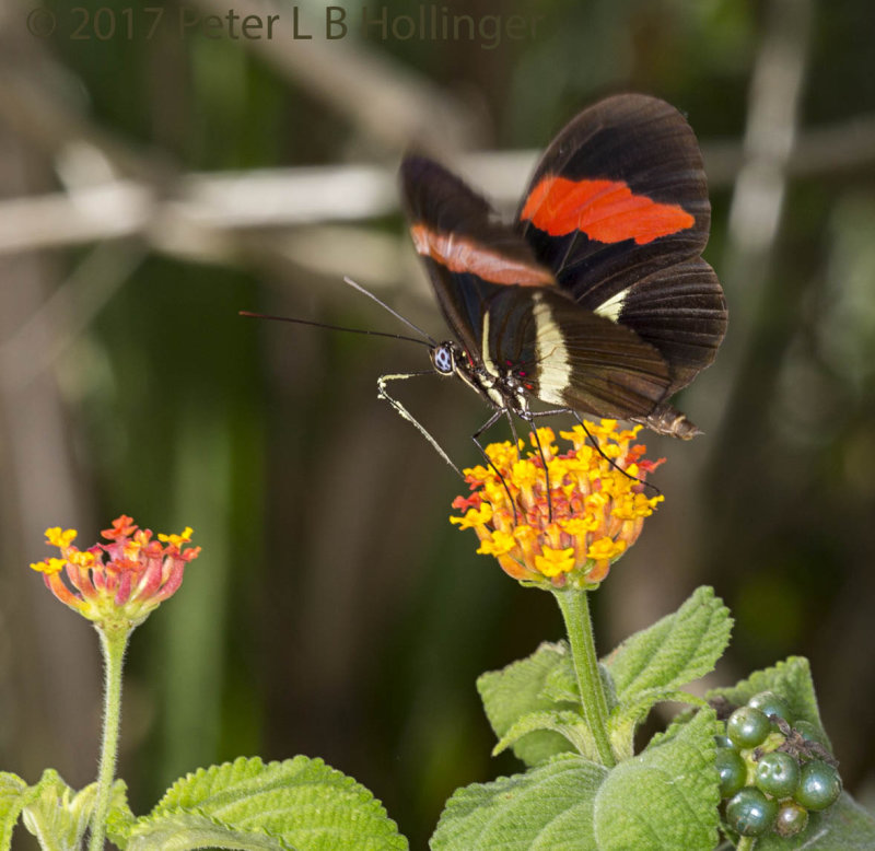 Red Postman (<i>Heliconius erato</i>) on Lantana