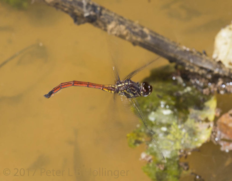 Darner laying eggs in puddle