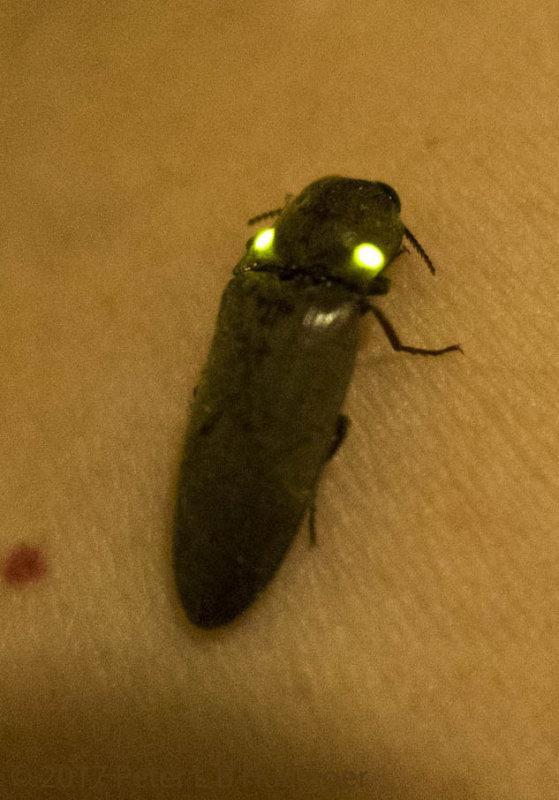 Fire beetle click beetle <i>Pyrophorus</i>