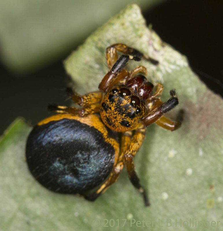 Fat black-and-gold jumping spider