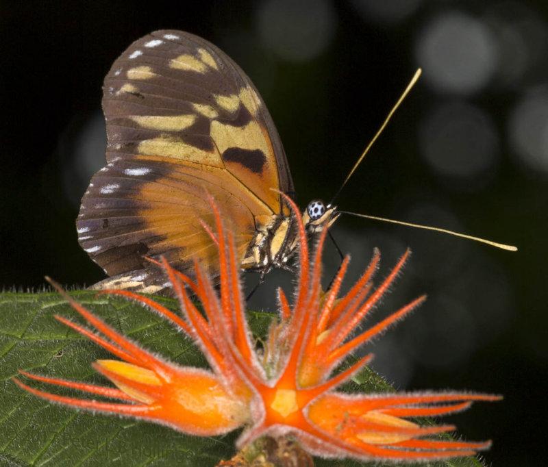 Tiger Mimic-White (<i>Dismorphia amphione</i>) on <i>Gurania</i>