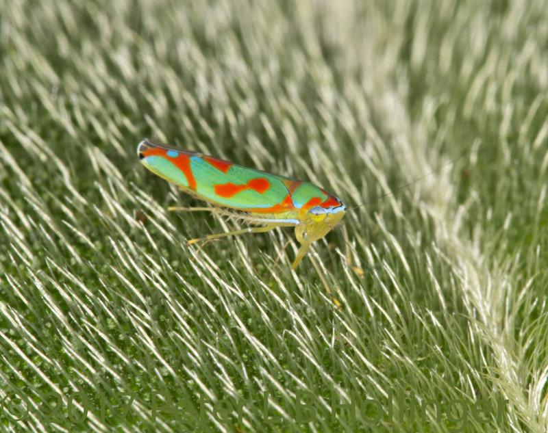 Orange and green leaf hopper