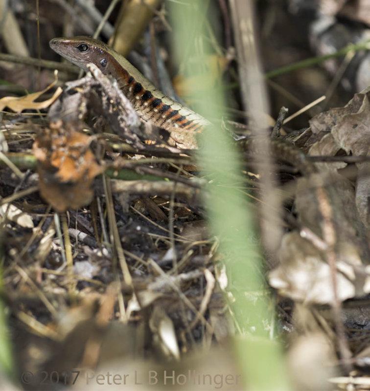 Panamanian whiptail (<i>Ameiva leptophrys</i>)