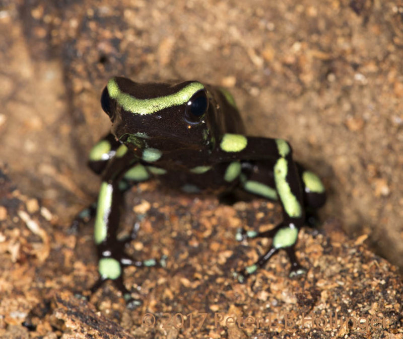 Green-and-Black Poison Dart Frog (<i>Dendrobates auratus</i>)
