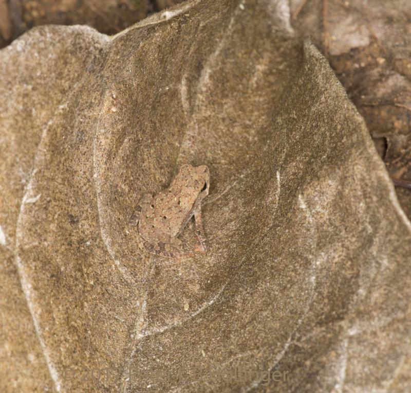 Frog in leaf litter