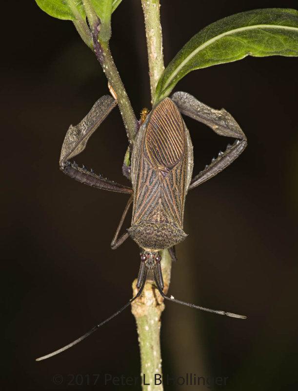 Large Assassin Bug