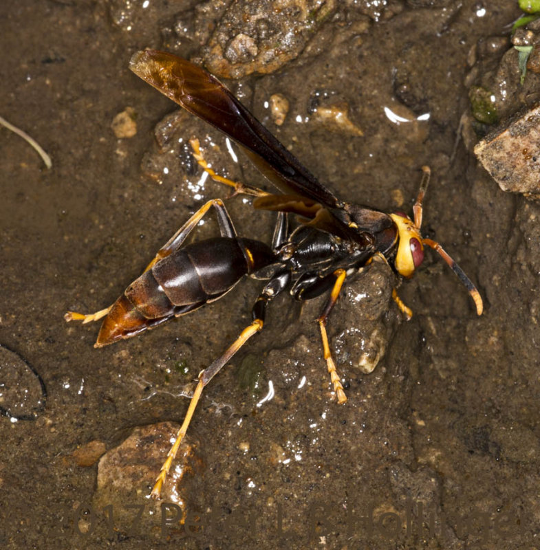 wasp in mud