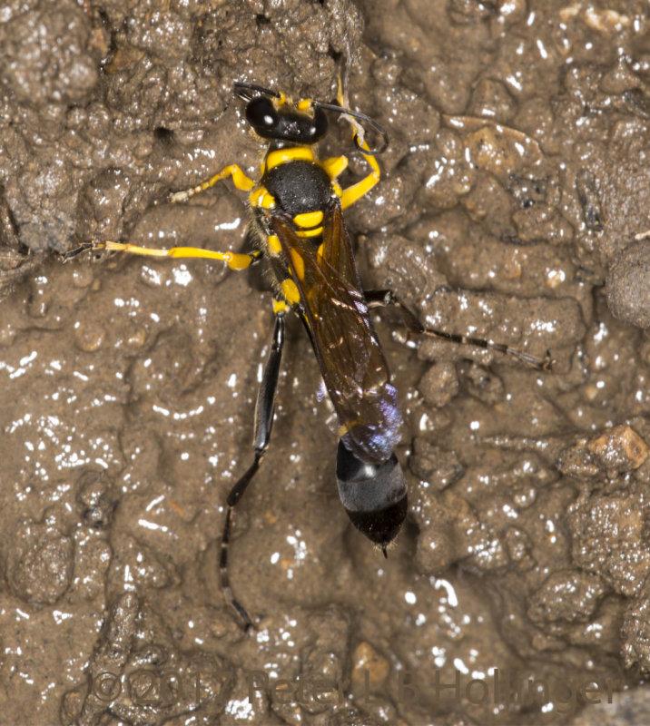 orange-and-block wasp gathering mud
