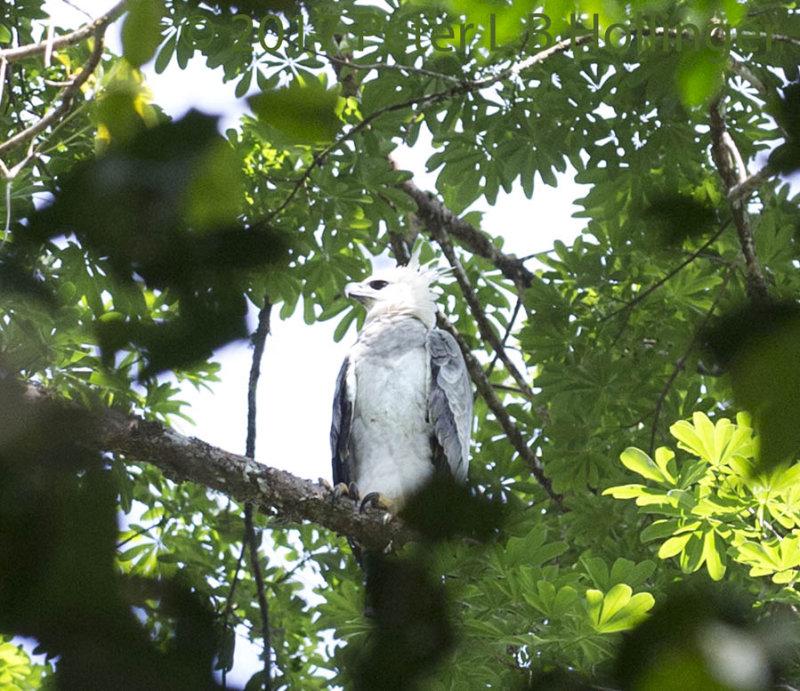 Harpy Eagle (<i>Harpia harpyja</i>) chick (~1.5yr)