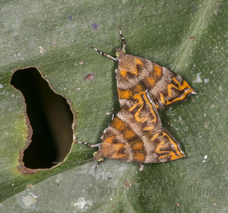 Donnas Metalmark Moths