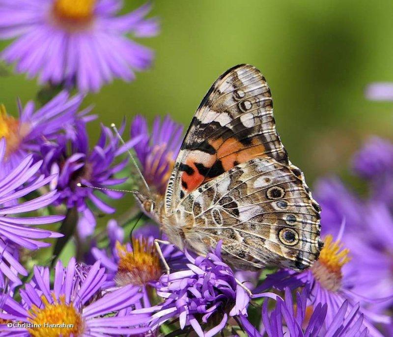 Painted lady butterfly (<em>Vanessa cardui</em>)