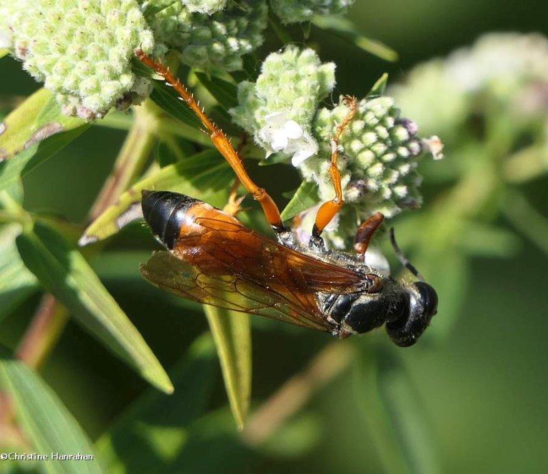 Great golden digger wasp (<em>Sphex ichneumoneus</em>)