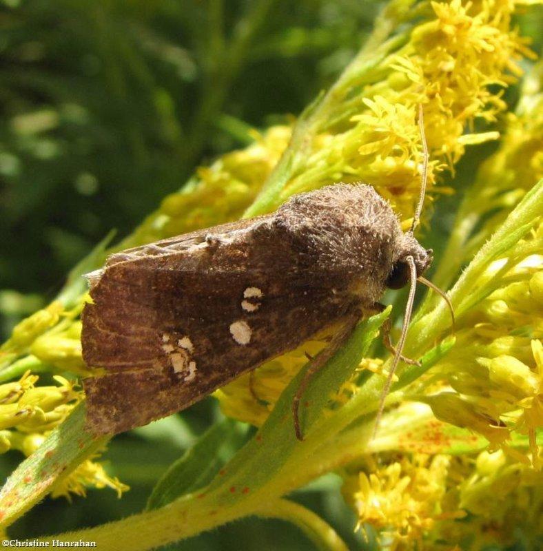 Coneflower borer moth (<em>Papaipema nelita</em>), #9502