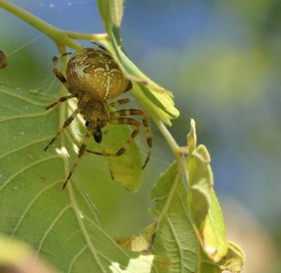 Garden cross orbweaver  (Araneus diadematus)
