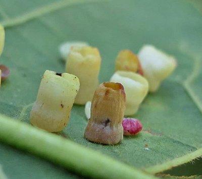 Cynipid wasp galls (Phylloteras poculum)