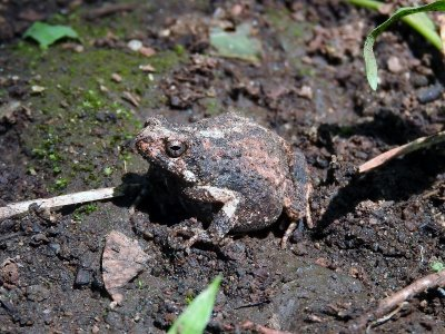 Toad sp.